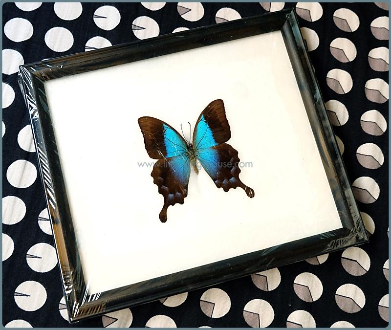 ++ ผีเสื้อสต๊าฟ ผีเสื้อ Papilio pericles ++